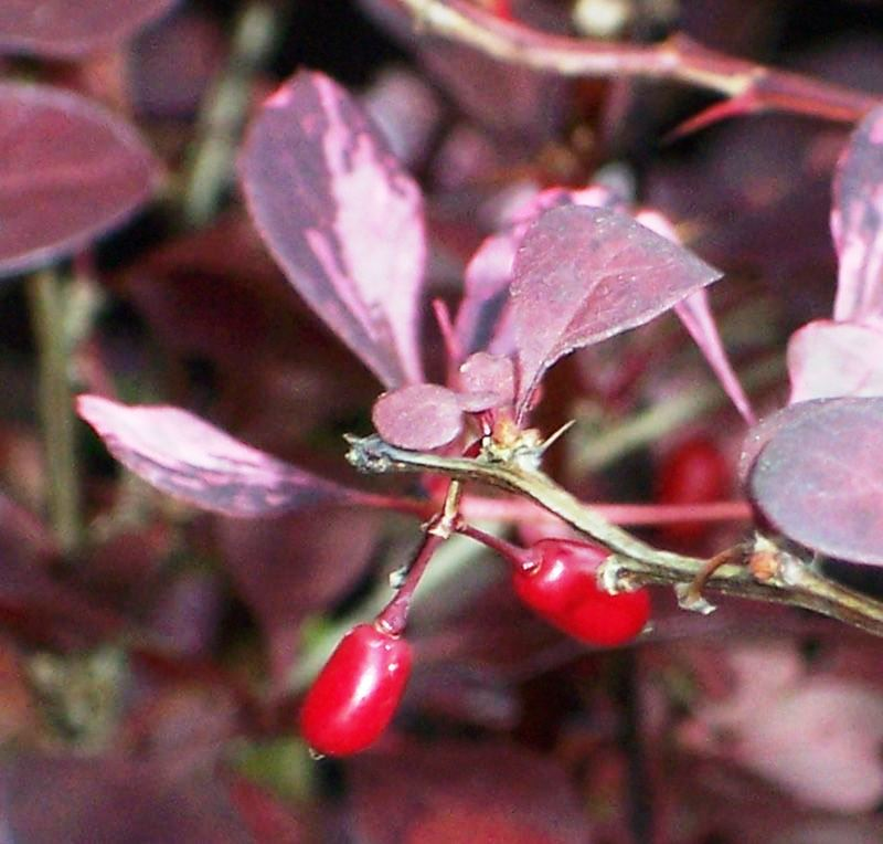 Барбарис Тунберга Роуз Глоу, Berberis Thunbergii Rose Glow - Фото №4
