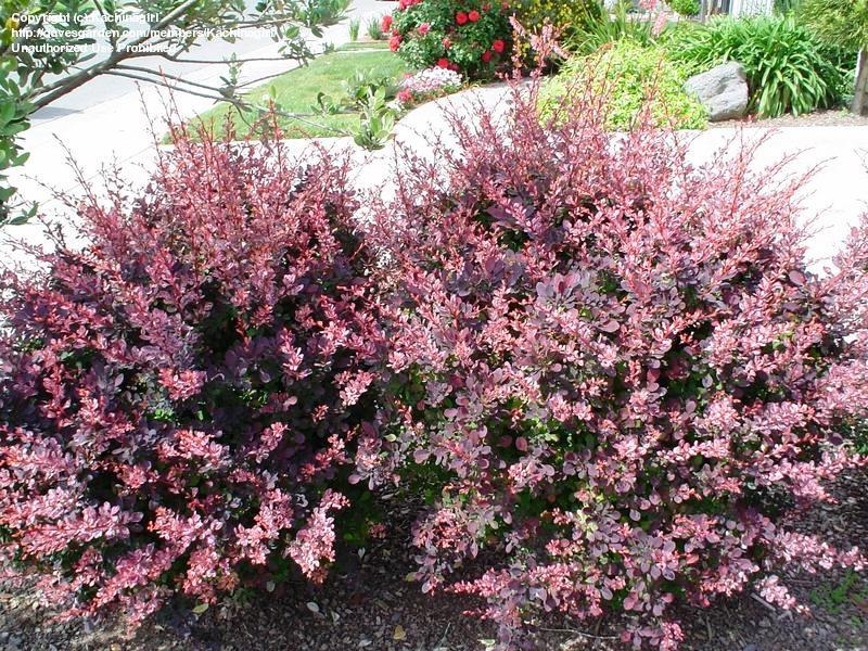 Барбарис Тунберга Роуз Глоу, Berberis Thunbergii Rose Glow - Фото №3
