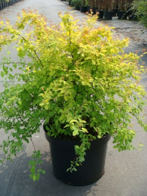 "Спирея Вангутта ""Голд Фонтан"", Spiraea x vanhouttei 'Gold Fountain'"