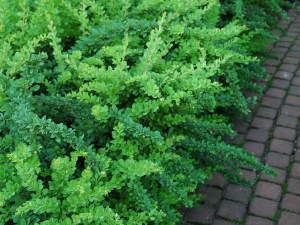 Барбарис Тунберга `Грин Карпет`, BERBERIS thunbergii 'Green Carpet'