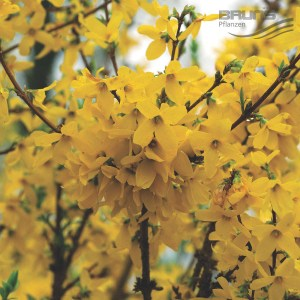 Forsythia_intermedia_Week_End_HRM_0535