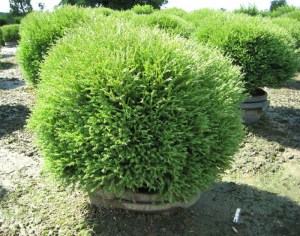 Thuja occidentalis 'Mr. Bowling Ball' 3,0L 20-25 cm+p
